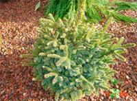 Picea jezoensis 'Yosawa'