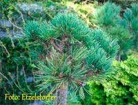 Pinus albicaulis 'Duckpass'