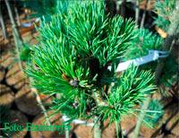 Pinus albicaulis 'Falling Rock'