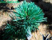 Pinus albicaulis 'Glenn Lake'