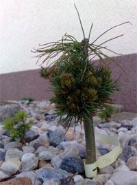 Pinus albicaulis 'Mini'