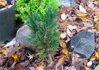 Pinus albicaulis 'Nr1 Dwarf'