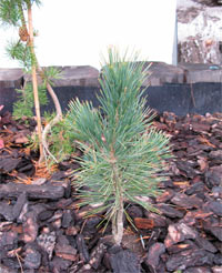Pinus albicaulis Nr3