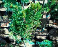 Pinus albicaulis 'Tioga Lake'