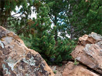 Pinus aristata 'Bashful'