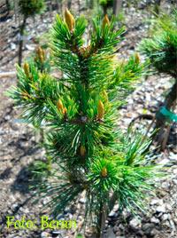Pinus aristata 'Beran'