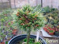 Pinus aristata 'Beran Nr2'