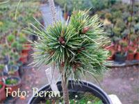 Pinus aristata 'Beran Nr3'