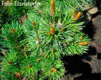 Pinus aristata 'Between Nr73'