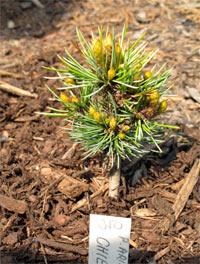 Pinus aristata 'Chiep'
