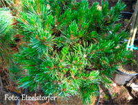 Pinus aristata 'Clank'