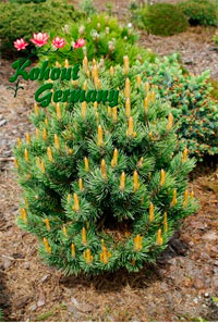 Pinus aristata 'Como'