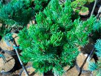 Pinus aristata 'Como Nr2'