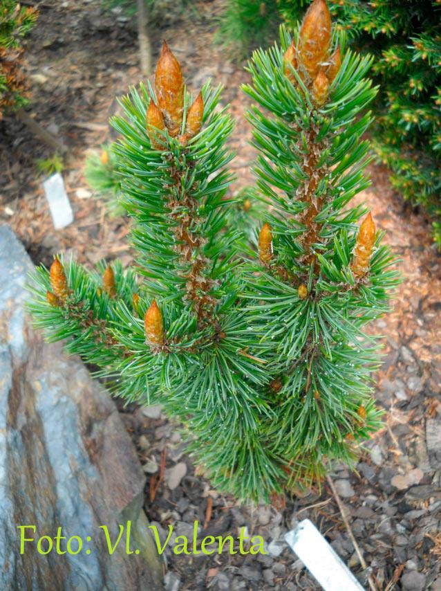 Pinus aristata 'Crafty'