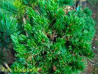 Pinus aristata 'D 165'