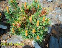 Pinus aristata 'Dancing D'