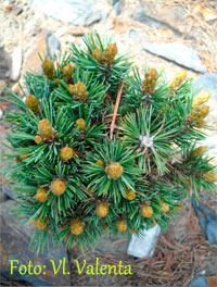 Pinus aristata 'Denis'