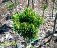 Pinus aristata 'Dexi'