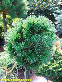 Pinus aristata 'Doc'