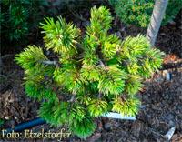Pinus aristata 'Dopey'