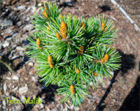 Pinus aristata 'Dwarf Tree'