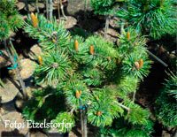 Pinus aristata 'Eagles Eyrie'