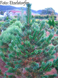 Pinus aristata 'Formal Form'