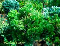 Pinus aristata 'Foxy'