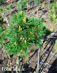 Pinus aristata 'Grand Pass'