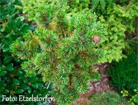 Pinus aristata 'Jackpot'