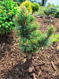 Pinus aristata 'Karma'