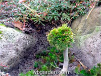 Pinus aristata 'Kohout Hexe'