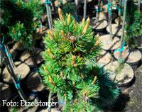 Pinus aristata 'Mosey'