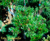 Pinus aristata 'Mt. Bross'