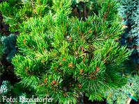 Pinus aristata 'New Broom JM'