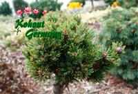 Pinus aristata 'Nr142'