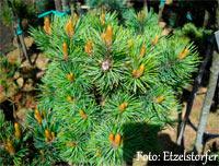 Pinus aristata Nr156