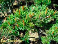 Pinus aristata Nr157