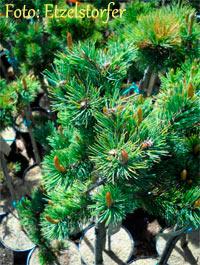 Pinus aristata Nr159