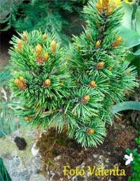 Pinus aristata Nr163