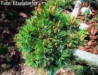 Pinus aristata Nr164