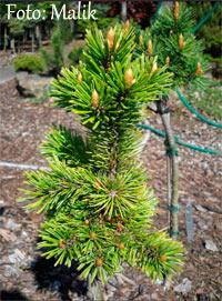 Pinus aristata Nr166