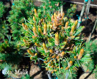 Pinus aristata 'Red Bird Nr161'