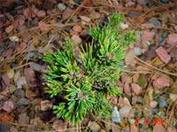 Pinus aristata 'Rich-WB'