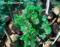 Pinus aristata 'Sarah E Nr136'