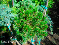 Pinus aristata 'Saunora M Broom'