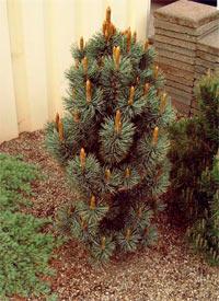Pinus aristata 'Schneverdingen'