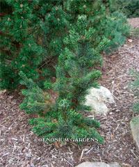 Pinus aristata 'Silver Alibi'