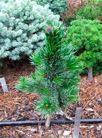 Pinus aristata 'Silver Bee'