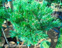 Pinus aristata 'Silver Boy'